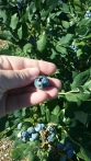 a blueberry the size of my thumbnail